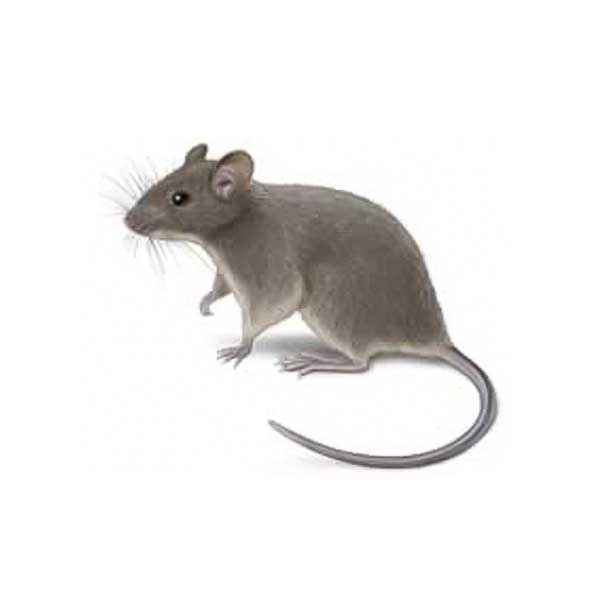 House mouse information and identification in Albuquerque NM - Pest Defense Solutions