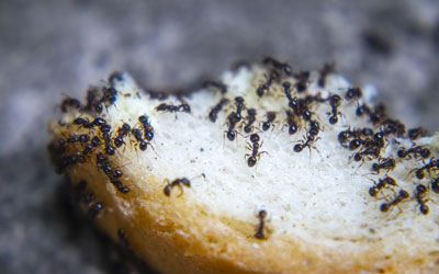 Why Do I Suddenly Have Ants in my Albuquerque home? Pest Defense Solutions